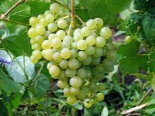 Виноград который не укрывают на зиму морозоустойчивые сорта