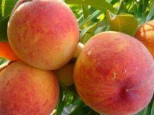 Кардинал  вкусный персик из Америки
