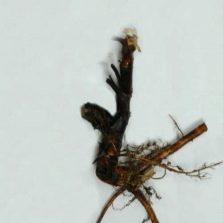 Корень травы кровохлебка