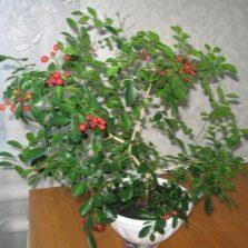 Домашняя мурайя плодоносит