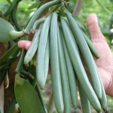 Зеленые стручки ванили