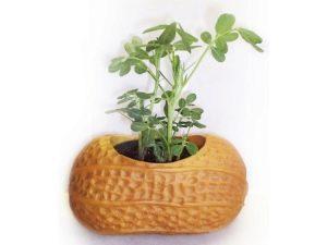Выращивание арахиса в домашних условиях и на даче