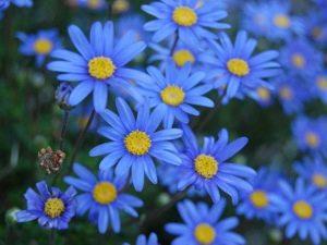 Фелиция – синяя «ромашка»