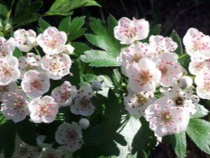 Цветы боярышника: лечебные свойства и противопоказания