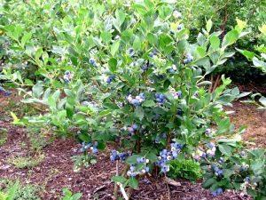 Голубика высокорослая: описание сортов и руководство по выращиванию