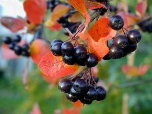 Арония: выращивание и применение