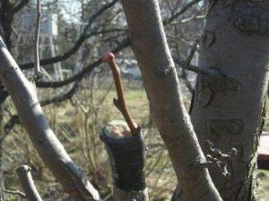 Какие деревья можно привить на рябину?