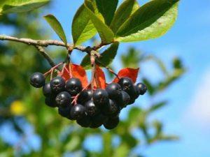 Лечебные свойства черноплодной рябины: как влияет на давление?