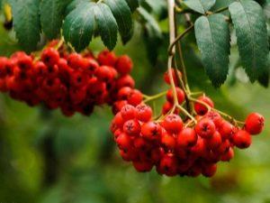 Обыкновенная рябина: описание растения, выращивание и уход