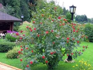 Как посадить и вырастить калину, как ухаживать за растением?