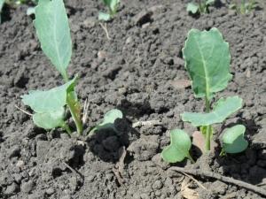 Когда сажать брокколи на рассаду и как правильно ее выращивать?