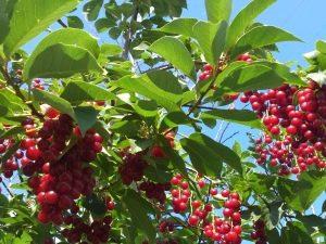 Красная черемуха: полезные свойства, посадка и уход