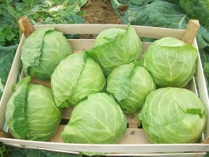 Выбираем сорта капусты для хранения зимой в свежем виде