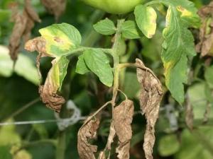 Болезни и вредители картофеля: описание и способы лечения