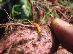 Чем обработать картофель от проволочника перед посадкой?