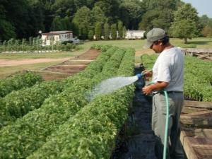 Чем подкормить помидоры после высадки в грунт?