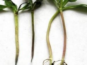 Черная ножка у томатов: почему появилась и что делать?