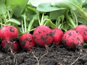 Что можно посадить после редиса?