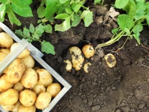 Что посадить рядом с картофелем по соседству?