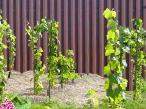 Где лучше посадить виноград на участке?