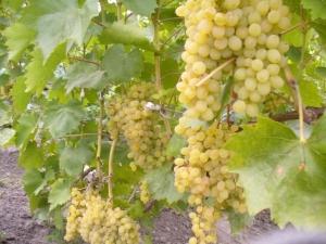 Характеристика сорта винограда «Русбол»