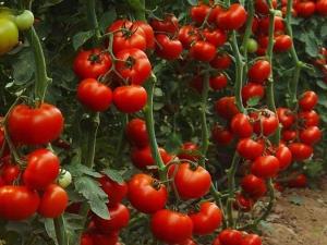 Индетерминантные сорта помидоров: что это такое и как их выращивать?