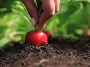 Как часто поливать редис в открытом грунте?