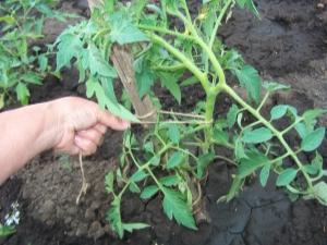 Как правильно подвязывать помидоры в теплице?