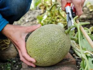 Как вырастить дыню?