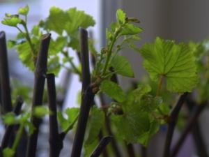 Как вырастить и размножить виноград черенками?