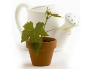 Как вырастить виноград из косточки в домашних условиях?