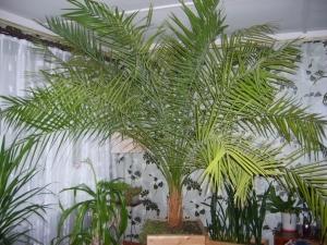 Какие сорта финиковой пальмы можно вырастить дома?