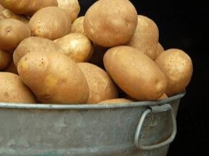 Картофель «Елизавета»: описание сорта и особенности выращивания