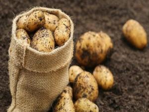 Картофель «Королева Анна»: особенности и выращивание