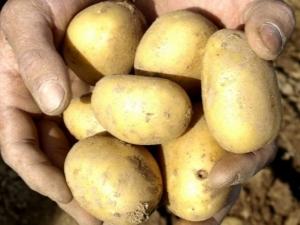 Картофель «Уладар»: описание сорта и особенности выращивания
