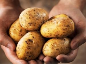 Картофель «Янка»: описание и выращивание