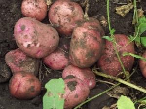 Картофель «Журавинка»: описание сорта и особенности выращивания