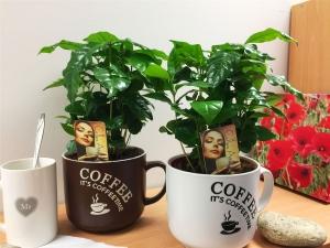 Кофейное дерево: как посадить и ухаживать?