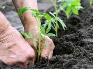 Когда и как высаживать помидоры в открытый грунт?