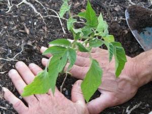 Когда и как высаживать помидоры в теплицу?