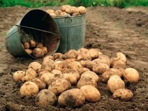 Когда копать и как хранить картофель?