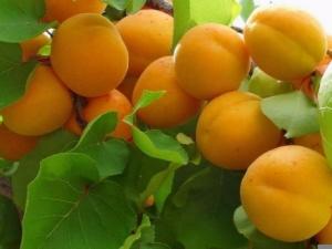 Колоновидный абрикос: особенности типа, сорта и правила выращивания