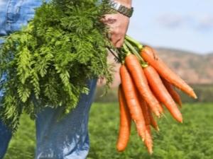 Морковная ботва: польза и вред, сфера применения «вершков»