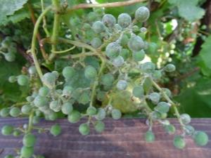 Оидиум винограда: что это за болезнь и чем ее лечить?