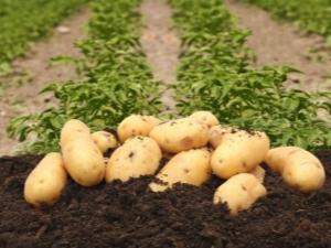 Описание и особенности выращивания картофеля «Колетте»