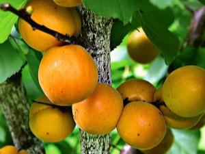 Описание сорта абрикосов «Водолей»