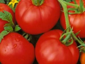 Описание сорта томатов «Москвич» и правила его выращивания