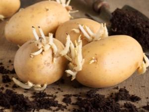 Основные этапы подготовки картофеля к посадке