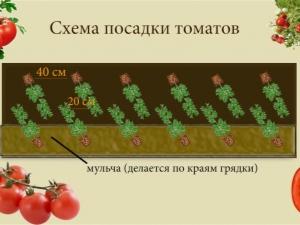Основные схемы посадки томатов в теплице