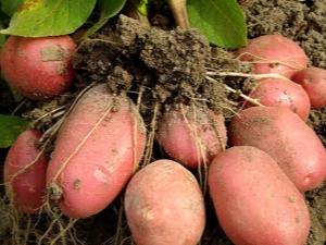 Особенности и выращивание сорта картофеля «Ред Леди»